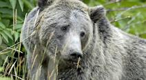 Grizzly Bär.