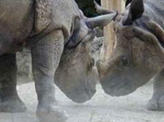 Der Zoo Basel ist weltweit führend in der Panzernashornzucht.