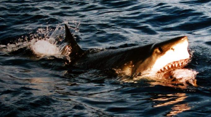 Auch der Weisse Hai soll künftig besseren Schutz erhalten.